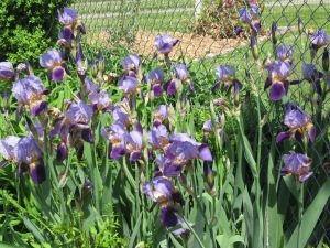 Mamie's irises
